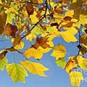 Autumn Leaves Of The Tulip Tree Poster