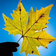 Autumn Maple Leaf In The Sun Poster