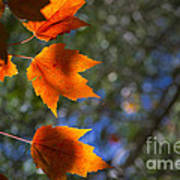 Autumn Maple Leaves In The Sun Poster