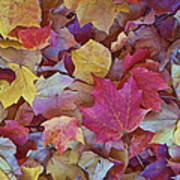 Autumn Maple Leaves On Forest Floor Poster