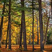 Autumn Pines Square Poster
