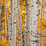 Autumn Quaking Aspen Panoramic Poster