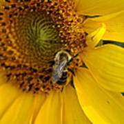 Autumn Sunflower Poster