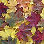 Autumn Sycamore Leaves Germany Poster