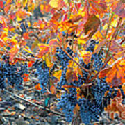 Autumn Vineyard Sunlight Poster
