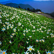 Avalanche Lily Field Poster