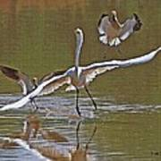 Avocets Chase Off The Egret Poster