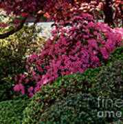 Azaleas And Red Maple Tree Poster