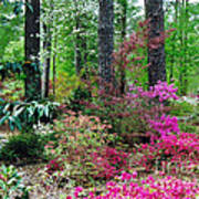 Azaleas Red Maple And Magnolia Trees Poster