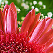 Babies Breath And Gerber Daisy Poster