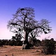 Babobab Tree Poster