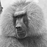 Baboon In Black And White Poster