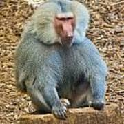 Baboon On A Stump Poster