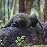 Baboon Sleeping Poster