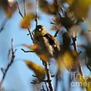 Baby American Goldfinch Learning To Fly Poster