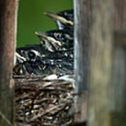 Baby Birds Poster