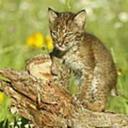 Baby Bobcat At Play Poster