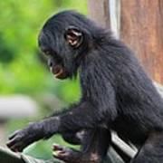 Baby Bonobo Poster