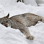 Baby Canadian Lynx Laying In The Snow Poster