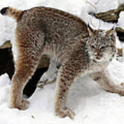 Baby Canadian Lynx Leaving The Winter Den Poster