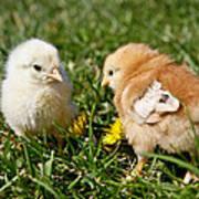 Baby Chicks Poster