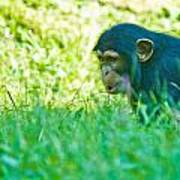 Baby Chimp In The Grass Poster
