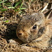 Baby Eastern Cottontail Poster