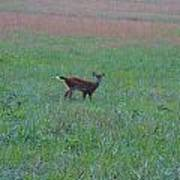 Baby Deer At Sunrise Poster