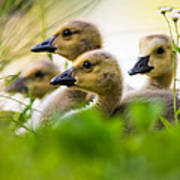 Baby Ducklings Poster