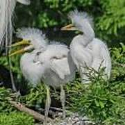 Baby Egrets Poster