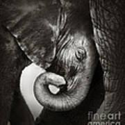 Baby Elephant Seeking Comfort Poster