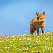 Baby Fox In Field Of Flowers Poster