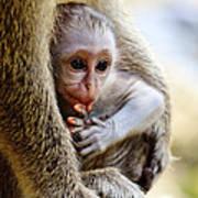 Baby Green Monkey - Barbados Poster
