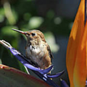 Baby Hummingbird On Flower Poster