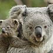 Baby Koala With Mom Poster
