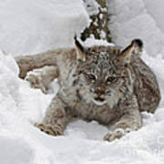 Baby Lynx In A Winter Snow Storm Poster