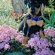 Baby Min Pin In The Phlox Poster