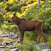 Baby Moose Baxter State Park Poster