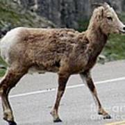 Baby Mountan Goat Crossing Road Poster