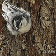 Baby Nuthatch Poster