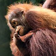 Baby Orangutan Borneo Poster