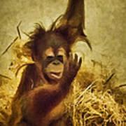 Baby Orangutan At The Denver Zoo Poster