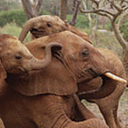 Baby Orphans Explore Imenti Tsavo Kenya Poster