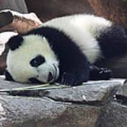 Baby Panda Poster