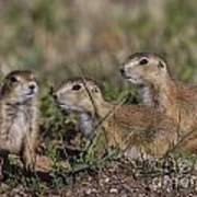 Baby Prairie Dogs Poster