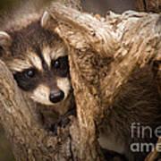 Baby Raccoon Poster