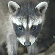 Baby Racoon Poster