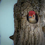Baby Red Bellied Woodpecker Poster