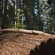 Baby Redwood Poster