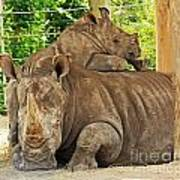 Baby Rhino And Mom Poster